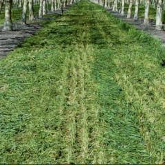 Culturile intercalate în Plantaţiile de nuci (Partea I)